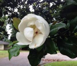cropped-kim-magnolia.jpg