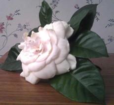 cropped-peter-gardenia.jpg