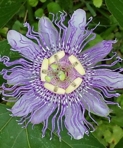 cropped-passion-flower.jpg
