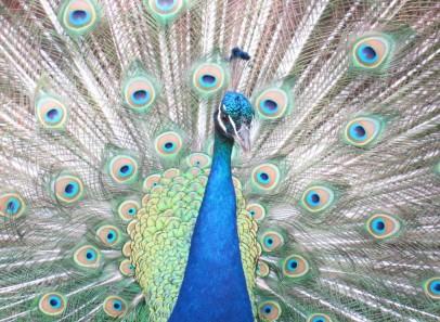 cropped-peacock-3.jpg