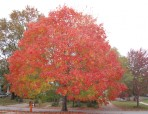 cropped-linda-sugar-maple.jpg