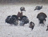 cropped-turkeys-cheryl.jpg