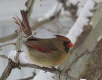 cropped-cheryl-female-cardinal.jpg