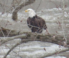 cropped-eagle-cheryl.jpg