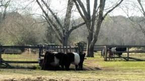 Oreo Cows Kim