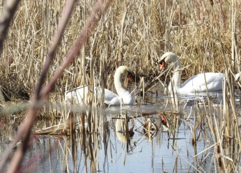 cropped-swan-cheryl.jpg