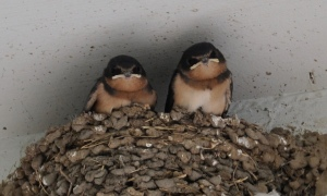 2 chicks - 2nd family of  Barn Swallows Kare