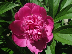 Peony - Insects