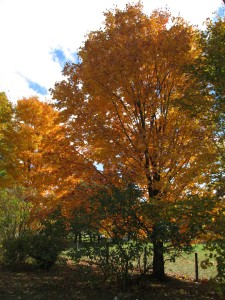 Sugar Maple 4