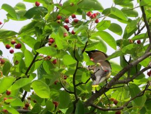 cropped-img_9906-waxwing-and-berries.jpg